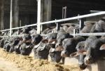 stalla di bufale in una fattoria didattica,bufale in un percorso didattico per le scuole con giovani bufale