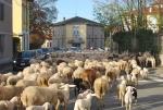 gregge di pecore in transumanza,transumanza di pecore in gregge ritornano dall'alpeggio,gregge di pecore accompagnate dai pastori e dai cani pastore