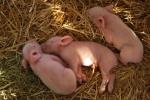 maialini suinetti porcellini dormono sulla paglia in fattoria didattica,porcellino piccolo del maiale beve il latte da mamma scrofa