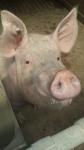 verro maschio di maiale in fattoria,maiale maschio o verro nella porcilaia della fattoria,setole di verro in fattoria