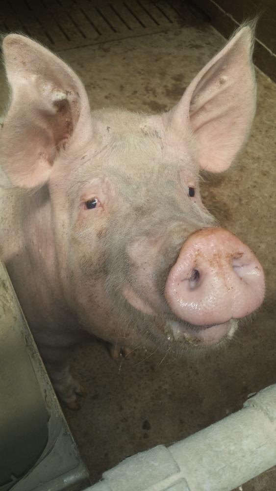 IL MAIALE il maialino il porcellino o suino