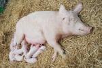 mamma scrofa che allatta i maialini che dormono sulla paglia della porcilaia della fattoria didattica per bambini