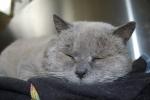 gatto grigio della fattoria,percorso didattico sui gatti in fattoria didattica per bambini