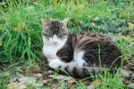 gatto della fattoria a caccia di topi,gatto appostato per catturare un topo sul prato della fattoria didattica