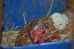 gallina con pulcino in fattoria didattica,piccolo pulcino con mamma chioccia,pulcino giallo della fattoria