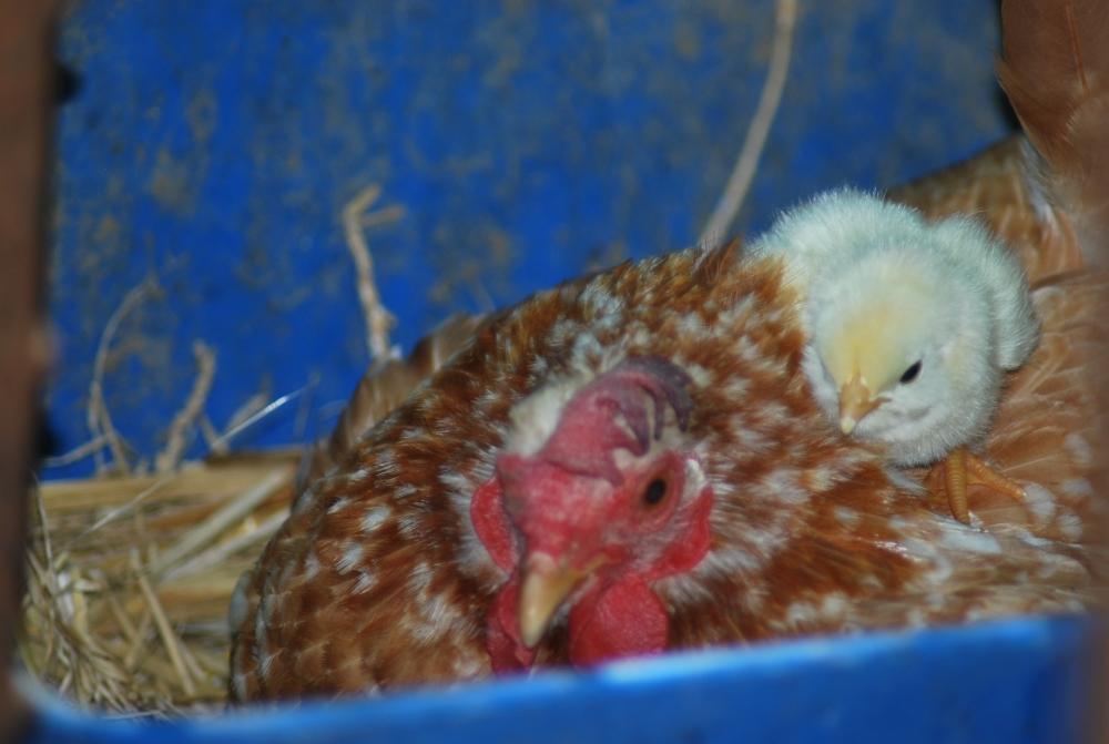 LA GALLINA  il GALLO il Pulcino uova di gallina