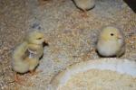pulcini della fattoria,pulcini di gallina appena nati dalle uova,pulcini mentre mangiano del mais della fattoria didattica