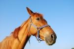 cavallo arabo nel maneggio della fattoria didattica,cavallo stallone maschio sul prato della fattoria didattica