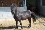 cavallo nero con criniera nera della fattoria didattica,pony stallone in fattoria,cavallo pony per didattica in fattoria