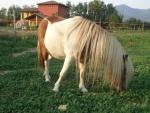 cavallo per battesimo della sella in fattoria,cavallo da sellare con lunga criniera nel maneggio in fattoria didattica