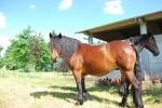 cavallo docile con puledro in fattoria,fattrice con puledro della fattoria didattica ferratura del cavallo con maniscalco