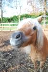 cavallo curioso in fattoria sul prato mentre corre per passeggiate nel bosco della fattoria didattica,stallone con puledro