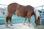 cavallo da tiro pesante italiano della fattoria,puledrino della fattoria corre sul prato da mamma cavalla per bere il latte di cavalla