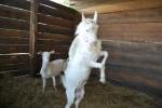 capra di razza saanen becco maschio della capra in fattoria,capre becchi lottano per la conquista della capra più bella