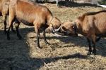 lotta delle capre con lunghe corna,combattimento delle capre sul prato della fattoria didattica