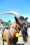 becco maschio della capra con stupende corna e dal profumo particolare,capra femmina anziana comanda il gregge