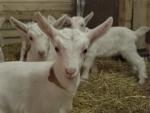 capretto in fattoria didattica,capretto per educazione ambientale sugli animali della fattoria didattica