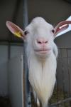 capra con barbetta in fattoria,capra per percorsi didattici per bambini in una fattoria didattica