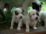 mamma cagnolina lecca i suoi cagnolini appena nati in fattoria,cane con cagnolini sul prato della fattoria didattica