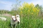 cane sul prato e nel bosco della fattoria,cane da pastore guardia al gregge e alla mandria in fattoria didattica