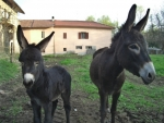 mamma asina e asinello della fattoria didattica,asina con asinello sul prato della fattoria didattica,asino con lunga criniera