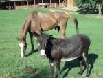 asino e cavallo della fattoria amici inseparabili,asini da lavoro in fattoria con soma