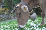 mucca bruna alpina con campanaccio in montagna,mucca di montagna al pascolo della fattoria di montagna