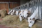 mucche di razza piemonte in fattoria didattica,mucche piemontesi al pascolo nel prato della fattoria con vitelli di razza piemonte