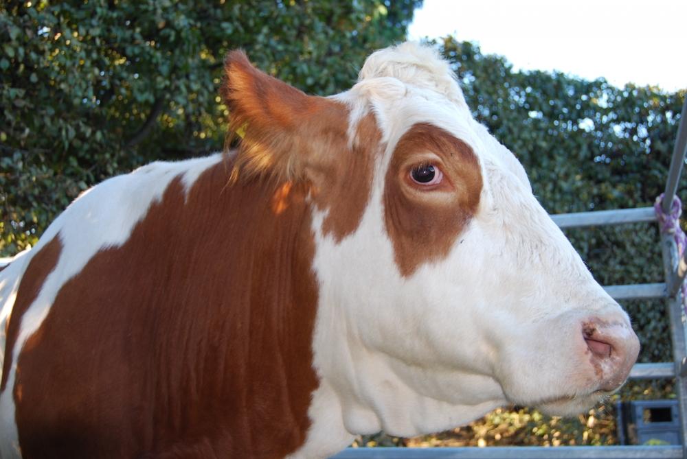 LA MUCCA il vitello il toro