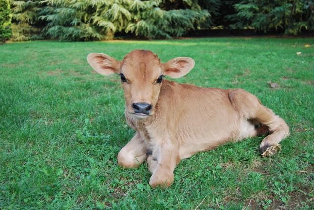 Mucche in fattoria didattica agriturismo con mucche libere for Piani di fattoria con foto