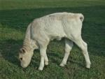 vitello di bruna alpina sul prato della fattoria con didattica per bambini,vitellino beve il latte dalla mammella