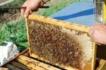 melario di un alveare in fattoria didattica,arnia con ape regina della fattoria,dov'è il miele nell'alveare