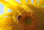 bombo sul fiore della fattoria,didattica per vedere la differenza tra l'ape e la vespa in fattoria