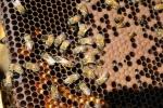 telaino opercolato con miele della fattoria didattica,miele dentro l'arnia nelle cellette riempite dalle api operaie