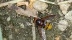 volucella zonaria sirfide,sirfide simile al calabrone,sirfide dittero volucella zonaria,insetto simile all'ape o alla vespa sirfide dittero con bande giallo nere