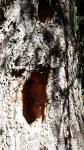 nido di picchio in fattoria,albero con picchio nel bosco della fattoria,picchio rosso nido sull'albero della fattoria didattica,biodiversità in fattoria didattica