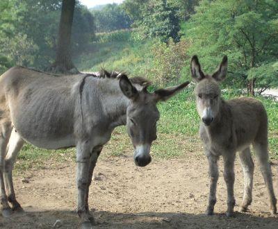 Foto di animali della fattoria fattorie didattiche asino for Piani di fattoria con foto