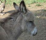 foto di animali della fattoria,fattorie didattiche:asino-l'asinello quando è piccolo ha il pelo molto folto.Nelle fattorie didattiche ci sono i distributori di latte fresco appena munto