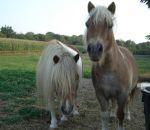 foto di animali della fattoria.fattorie didattiche:cavalli-il cavallo ha una folta criniera,questi sono due pony.Latte fresco appena munto nelle fattorie didattiche,didattica per bambini in fattoria,disegni da colorare per bambini di animali in fattoria d