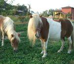 foto di animali della fattoria,fattorie didattiche:cavallo-con questa lunga criniera il pony dovrebbe andare dal parrucchiere.Beviamo latte fresco appena munto,didattica per bambini in fattoria,disegni da colorare per bambini di animali in fattoria didatt