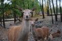 cervo nel bosco del parco della fattoria didattica..mamma cerva con cerbiatto nella fattoria didattica..agriturismo con animali e camere per bambini..