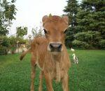 foto animali della fattoria.fattorie didattiche:vitello-un vitellino di razza jersey,allevamento di vitelli,azienda agricola con vitelli,didattica per bambini in fattoria,disegni da colorare per bambini di animali in fattoria didattica