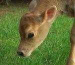 foto animali della fattoria,fattorie didattiche:vitello-il vitello pascola nel prato.Vitello razza jersey,fattoria didattica delle jersey,didattica in fattoria per bambini con vitelli,vitellino in fattoria