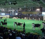 foto animali della fattoria,fattoria didattica:vacche frisone-tutte le mucche entrano nel ring per essere valutate.latte fresco appena munto nei distributori di latte,didattica per bambini in fattoria,disegni da colorare per bambini di animali in fattoria