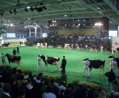 Foto di mucca vacca in fattoria vitello con mucca fattoria for Fattoria immagini da colorare
