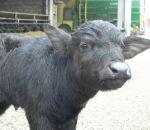 foto animali della fattoria,fattorie didattiche:annutolo-bufalino-il piccolo della bufala si chiama annutolo.Latte fresco appena munto nelle fattorie didattiche,annutolo in fattoria didattica,annutolo-bufala