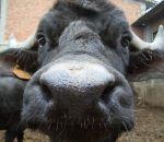 foto animali della fattoria,fattorie didattiche:bufala-i piccoli della bufala si chiamano annutoli.Beviamo latte fresco appena munto,didattica per bambini in fattoria,disegni da colorare per bambini di animali in fattoria didattica