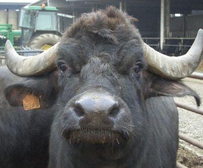 immagini di bufale bufali annutoli della fattoria