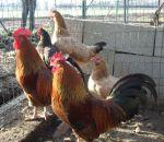 foto animali della fattoria,fattorie didattiche:galline-nel pollaio i galli si riconoscono subito dalla lunga cresta.Nelle fattorie didattiche tanto buon latte fresco appena munto,didattica per bambini in fattoria,disegni da colorare per bambini di animal