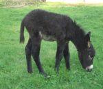 foto animali della fattoria,fattoria didattica:asino-anche l'asinello mangia l'erba.Nelle fattorie didattiche della provincia di Varese si può acquistare latte fresco appena munto